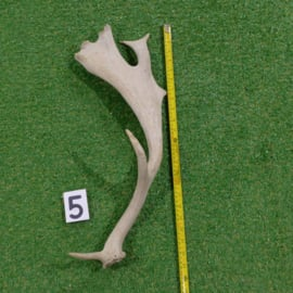 Damhert geweistang 60 cm