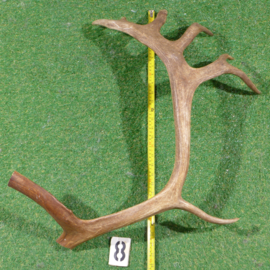 Reindeer antler (70 cm)