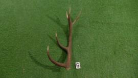 Edelhertgewei (70 cm)