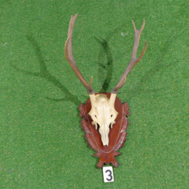 Fallow deer antlers with skull (70 x 40)