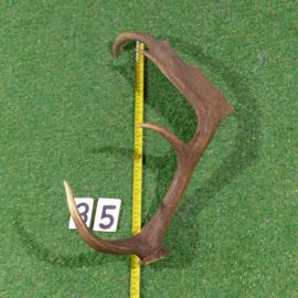 Damhert geweistang (55 cm)