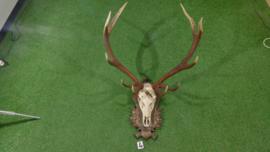 Edelhertgewei met schedel (120h x 90  br cm)