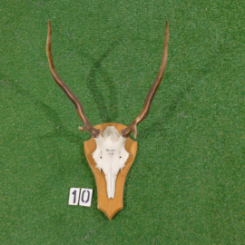 Red deer antlers with skull (65 x 45 cm)