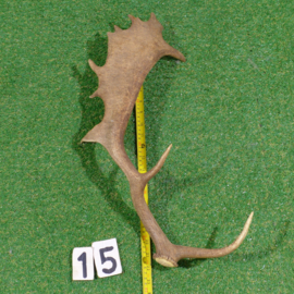 Fallow deer antler (55 cm)