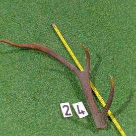 Red deer antler (60 cm)