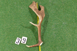 Damhert geweistang 50 cm