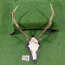 Red deer antlers with skull (80 x 55 cm)