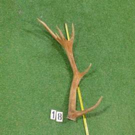 Red deer antler (85 cm)
