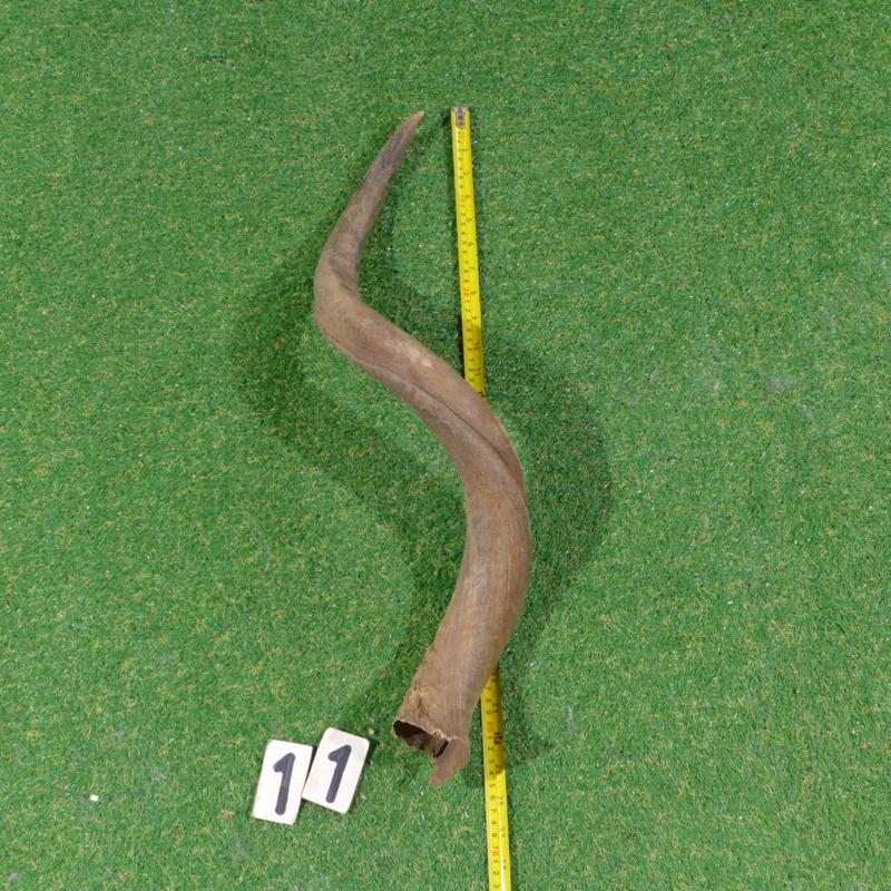 Koedoe hoorn ( 65 cm)
