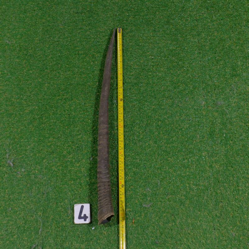 Oryx hoorn ( 75 cm)