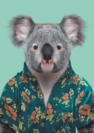 Zoo Portrait Koala