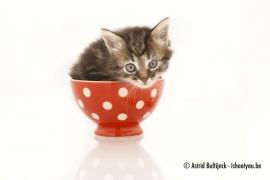 Canvas - Kitten in kommetje