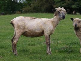 Wensleydale gewassen wol (ongeverfd)