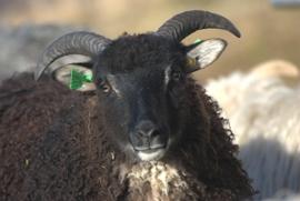 Noorse schapenwol uit Noorwegen (ongewassen)