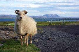 Lettlopi - black sheep heather / svört sauðfé heill
