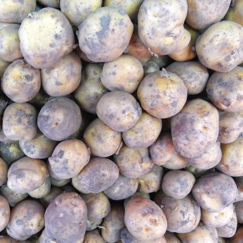 Opperdoezer * nieuwe oogst * per kilogram