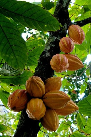 Cacao Boom.jpg