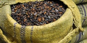 Forastero-cacao-bean-Chocopedia-300x150.jpg