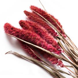 Roze setaria (naaldaar) bosje 6 stuks