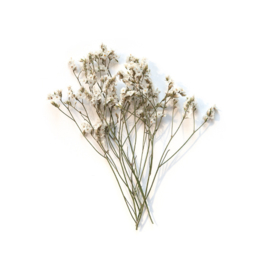 Gypsophila (gipskruid) mini set