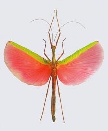 Insekt, pink
