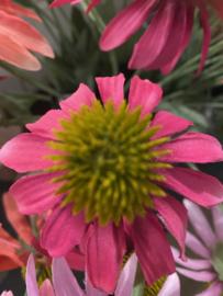 Zonnehoedjes pink