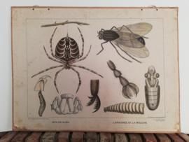 Oude schoolplaat van een vlieg en spin  van H.J. van Lummel
