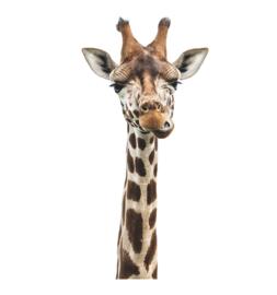 Muursticker jungle giraffe kop afrika