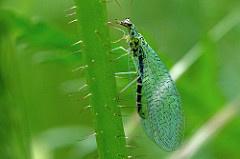 Gaasvlieg tegen bladluis, trips, witte vlieg, spint en wolluis 1000 larven