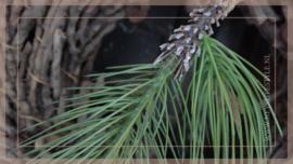 Pinus kunst tak   25 cm