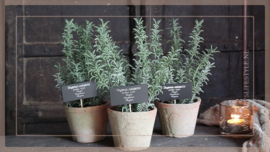 Kruiden plant in pot | thijm