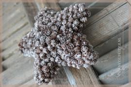 Star pinecone