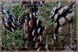 Pine moss krans | 50 cm
