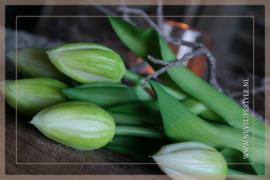 Tulp in knop kunst 36 cm | groen