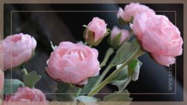 Ranunculus tak | roze  55 cm