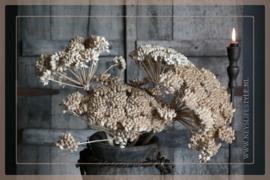Droogbloem Ferrule  3 stuks | 30 -45 cm