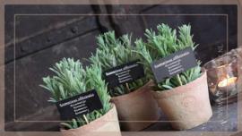 Kruiden plant in pot | rozemarijn
