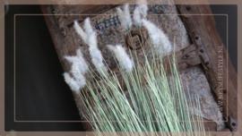 Setaria grass | M