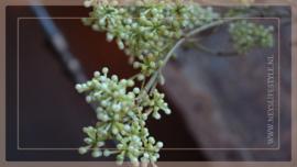 Bessen tak fijn | groen/créme 70 cm
