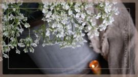 Heracleum sphondylium | wit 70 cm