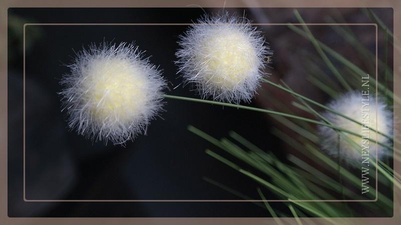 Poaceae grass | Bal