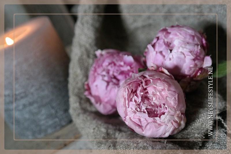 Gevriesdroogde pioenroos | roze M