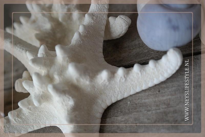 Zeester 12-15 cm | 4 stuks