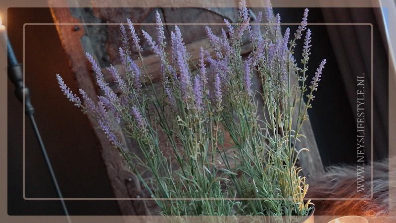 Lavendel in pot   M