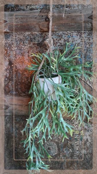 Hanging plant Platycerium
