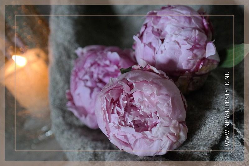 Gevriesdroogde pioenroos | roze S