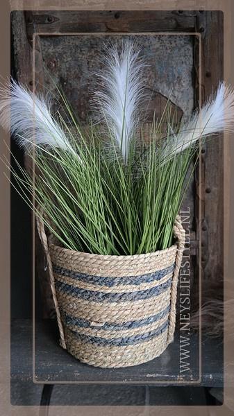 Poaceae grass | Pluim wit