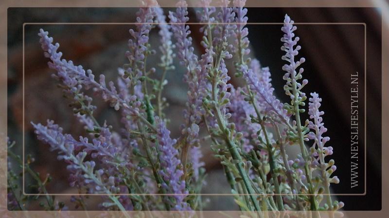 Lavendel in pot   S