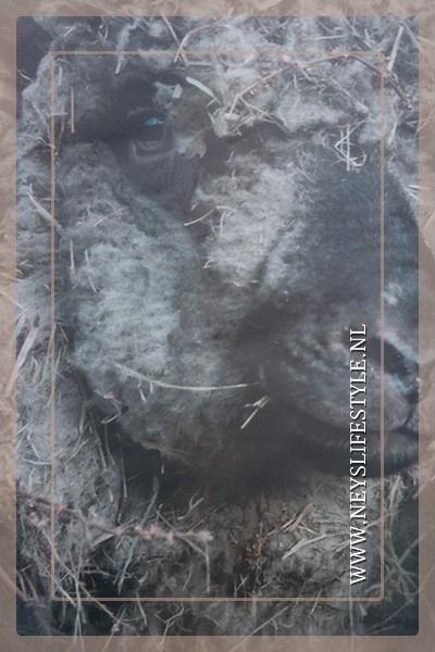 Tuinposter | donker schaap