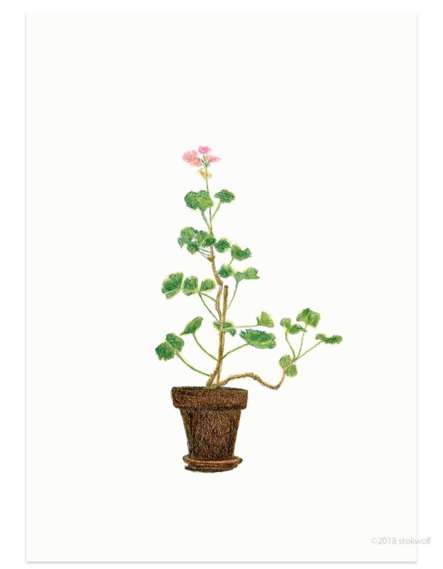 Home geranium